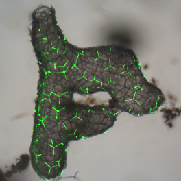 spicules